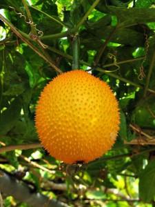 ฟักข้าว (Gac Fruit)