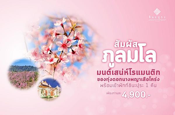 """""""โรงแรมชินะปุระ"""" ชวนนักเดินทาง ชมซากุระเมืองไทยที่ """"ภูลมโล"""""""